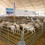 Exposición ganadera caprina y eventos caprino-culturales en la Feria Internacional Querétaro 2019