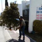 El Marqués intensifica recolección de árboles navideños