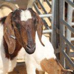 Listo calendario de eventos y exposiciones de ganadería en la Feria Internacional Querétaro 2019