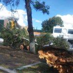 Cae otro árbol en Jardines de la Hacienda