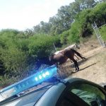 Policías de El Marqués ponen bajo resguardo a dos yeguas con reporte de robo