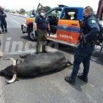Toro escapa de la plaza Santa María y muere atropellado